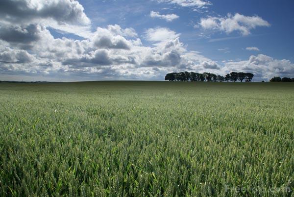 9907_07_1---Field-of-Wheat_web